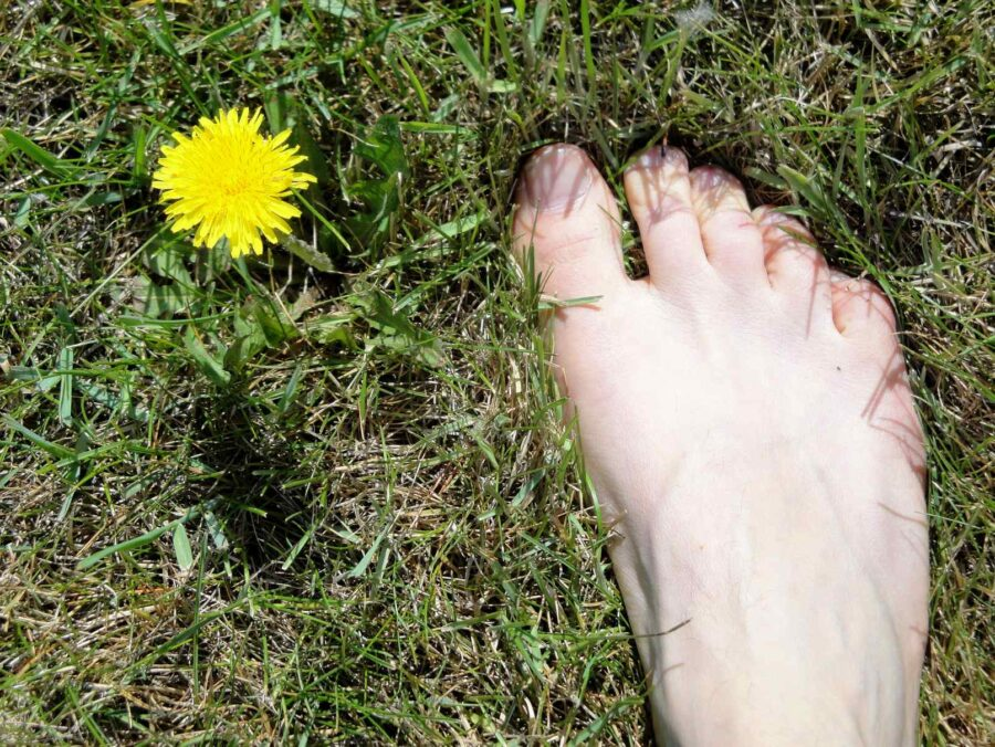 dandelion flower health benefits