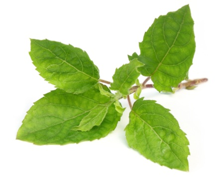 Many kinds of kale have smooth leaves but Holy Basil's leaves have ridges.