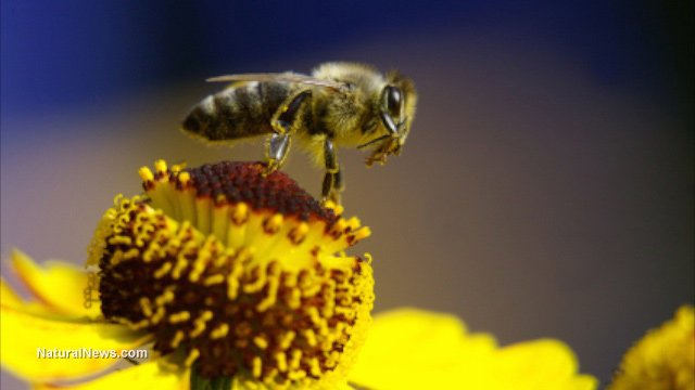 Bees are Dying! Monsanto's Roundup Blamed
