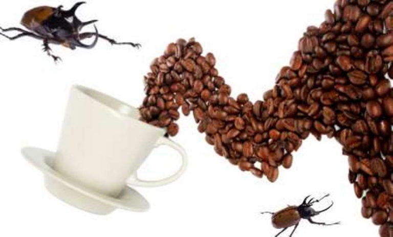 coffee flies