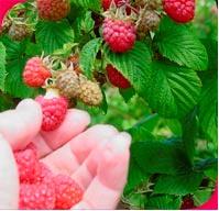 paspberry