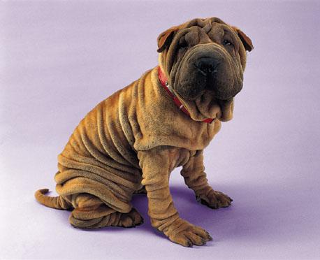 wrinckly dog