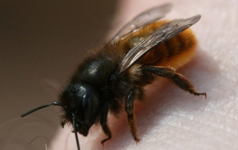 Photo of Mason Bees