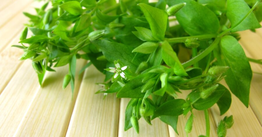 Photo of Chickweed, a Tasty, Healthy Weed for Eating