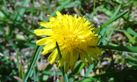 Dandelion Flower Cordial Is Refreshing
