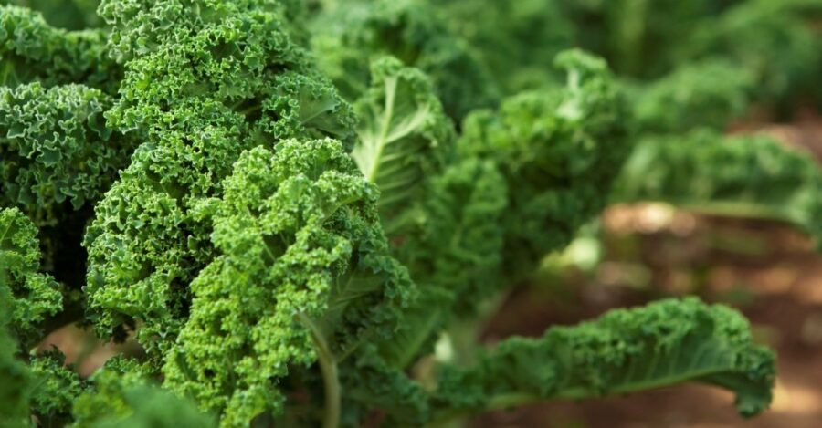 Photo of Kale – 8 Health Benefits and Cautions