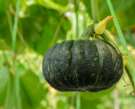 Winter squash, or Pumpkin on its tree