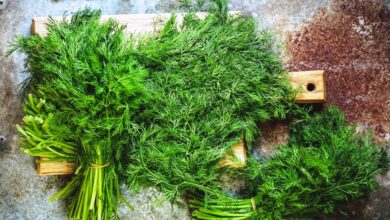 Photo of Dill is Full of Healing and Taste Extraordinaire