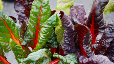 Photo of Swiss Chard is Beautiful, Colourful and Surprising Good for You
