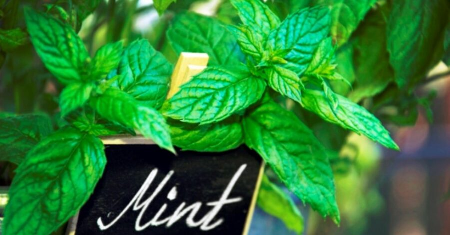 Photo of Energizing Peppermint is Full of Health Benefits for You