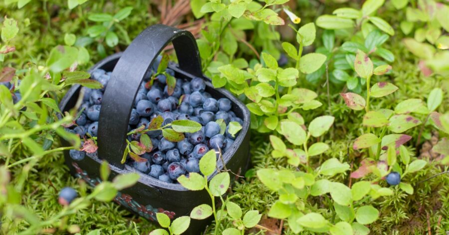 Photo of Why Are Wild Blueberries The Best?