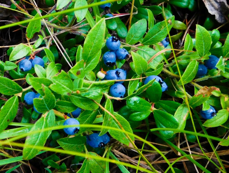 Wild Blueberry Bush