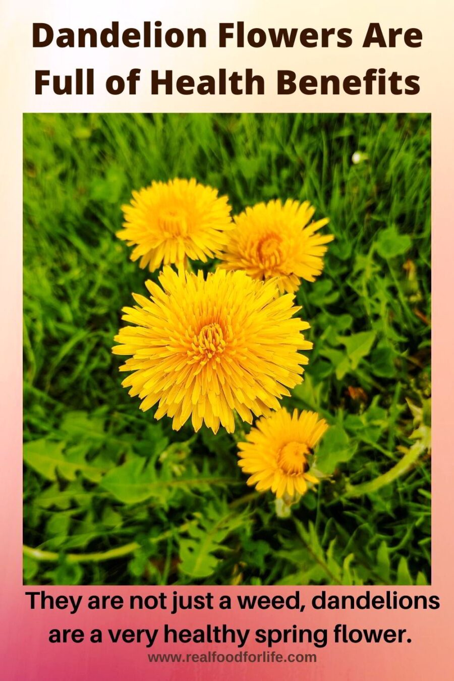 Dandelion Flowers Health Benefits