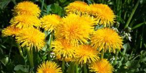 Dandelion Flower Health Benefits