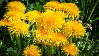 Photo of The Dandelion Flower Is Full of Health Benefits
