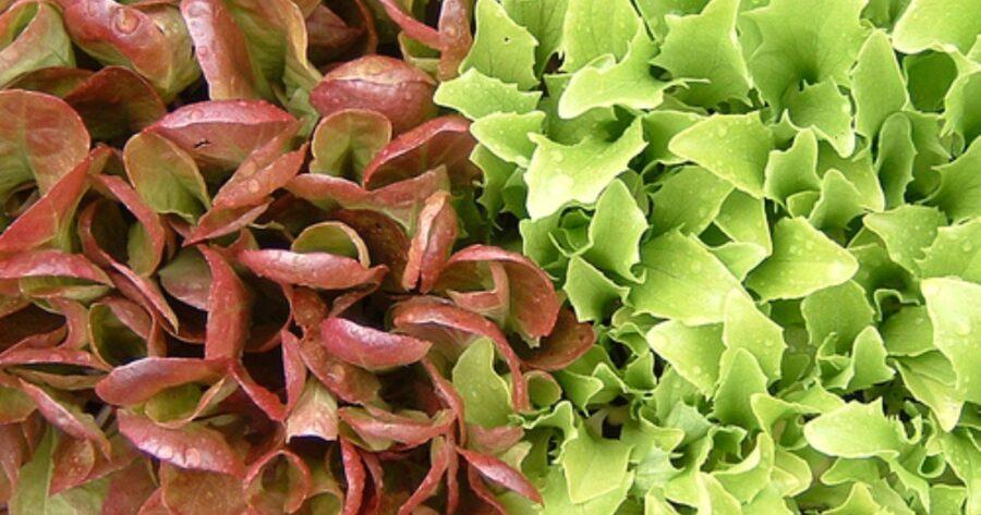 Powerful Advantages Lettuce